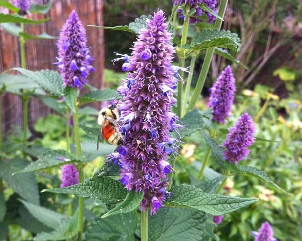 Shambhala Mountain Center bees and mint