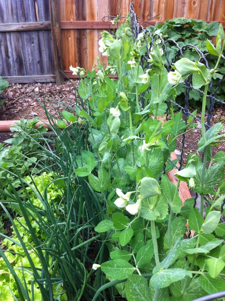 snap peas in full flower!