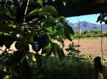 plum tree in the side yard with the orchard and mountains beyond