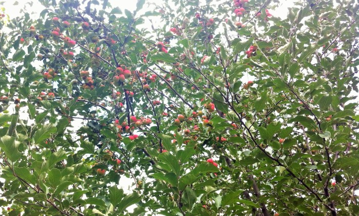 crab apples blush