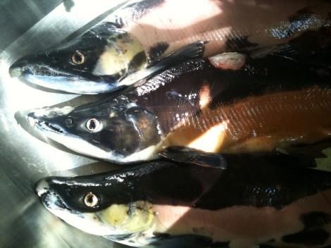 Colorado kokanee salmon