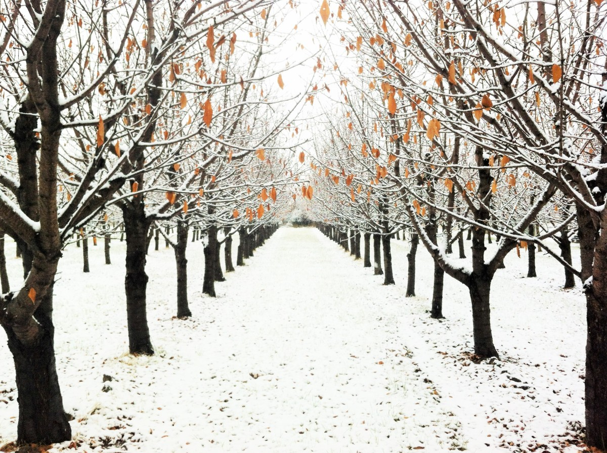 We can dream of peaches, on days such as these, and revel in the beauty of winter