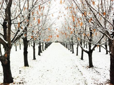 Peach Orchard on Peony Lane 12/18/14