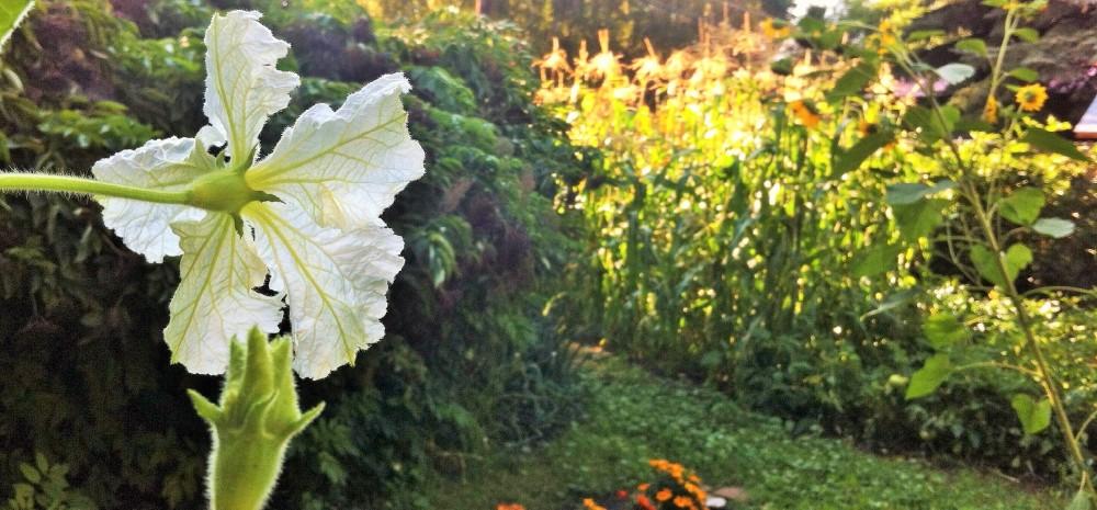 Gourd blossom's eye view of the garden