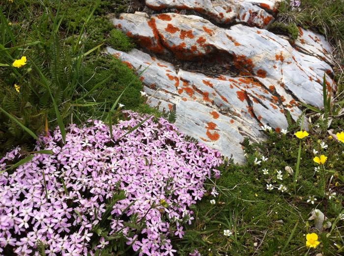alpine phlox