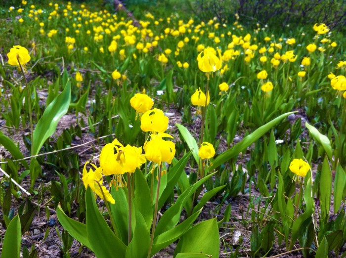 yellow fawn lily