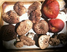 King Boletes and Hawk Wing haul August 11, 2015 in the North Fork Valley, Colorado