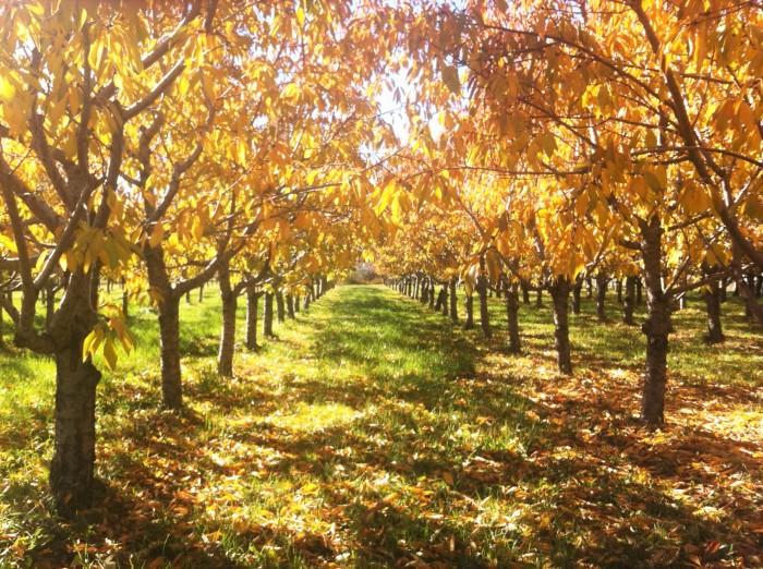 November peach orchard
