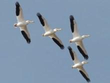 pelican_davidstephens