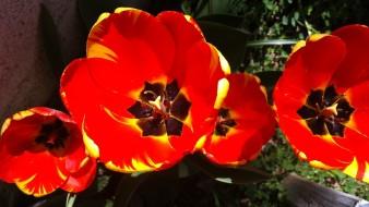tulips of joy
