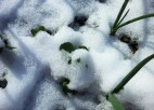 onions and pea plants through a spring snow