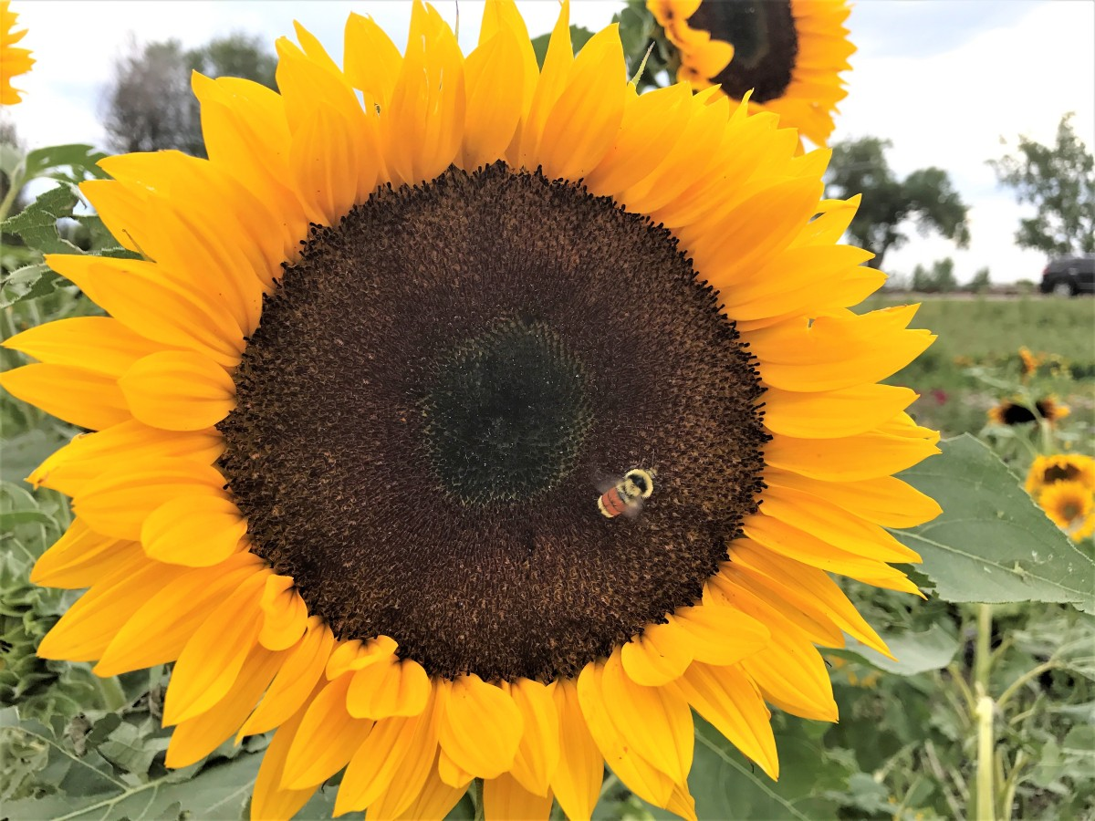Autumn Equinox : Sunflower Teachings