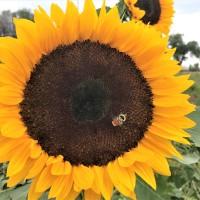 Autumn Equinox : Sunflower Teachings