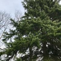 Roger's Tree