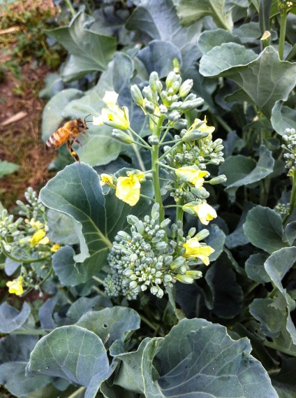 Bee on November broccoli flower
